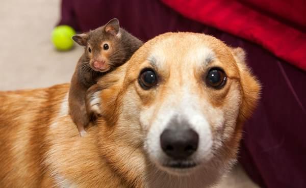 Hamster On A Corgi
