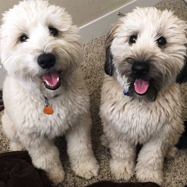 Wheaten Terrier Pictures Brothers