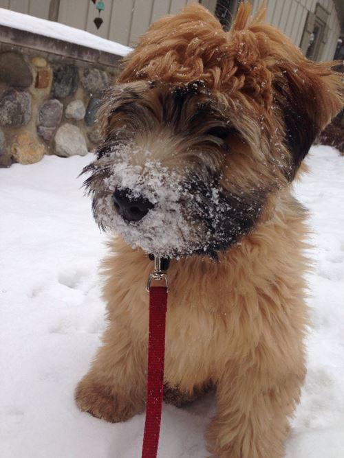 Wheaten Terrier Pictures Snow