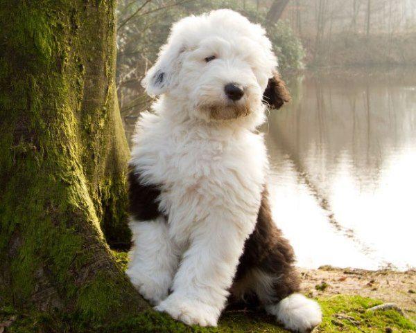 Adorable English Sheepdog