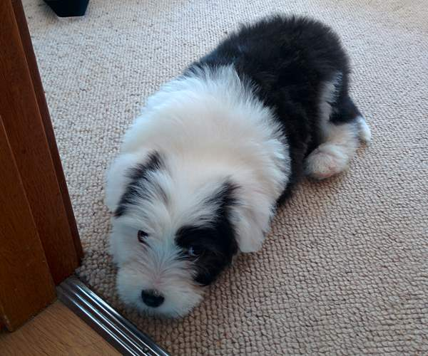 Cute Old English Sheepdogs