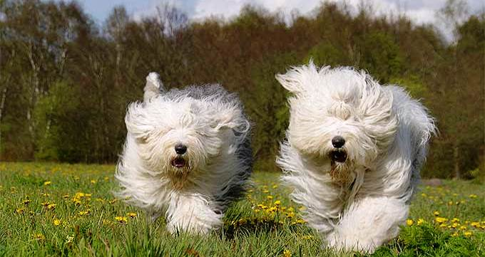 Cutest Old English Sheepdog Pictures