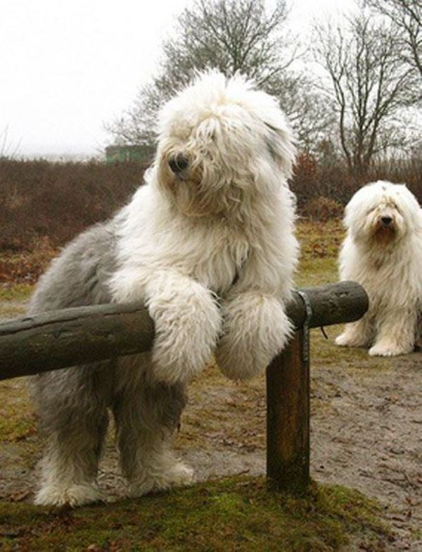 Fluffy English Sheep Dogs