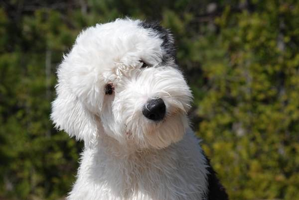 Old English Sheep Dog Pictures