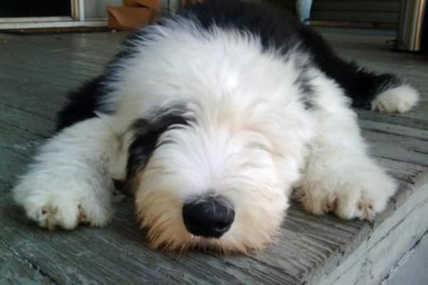 Old English Sheepdog Pictures Sleeping