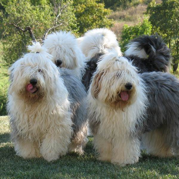Pack Of Old English Sheepdogs