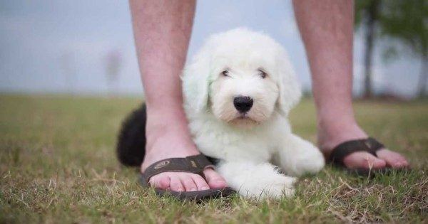 Pictures Of Old English Sheepdogs