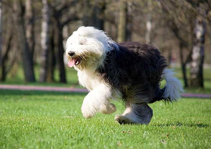 Running Sheepdog