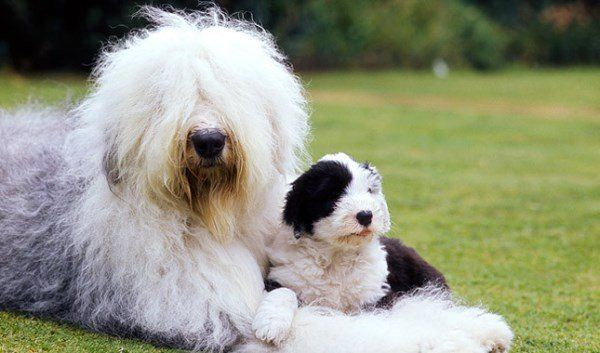 Sheepdog Family