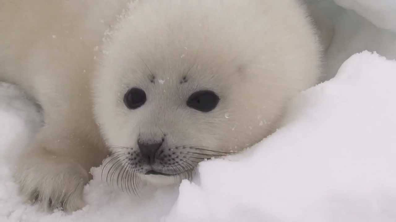 26 Harp Seal Pictures Guaranteed To Make You Squeal