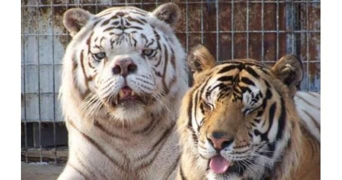 Inbred Tiger Pictures