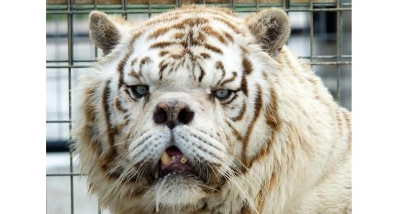 Meet Kenny, The Inbred White Tiger With Down Syndrome