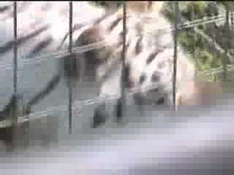Meet Kenny, The Down Syndrome Tiger