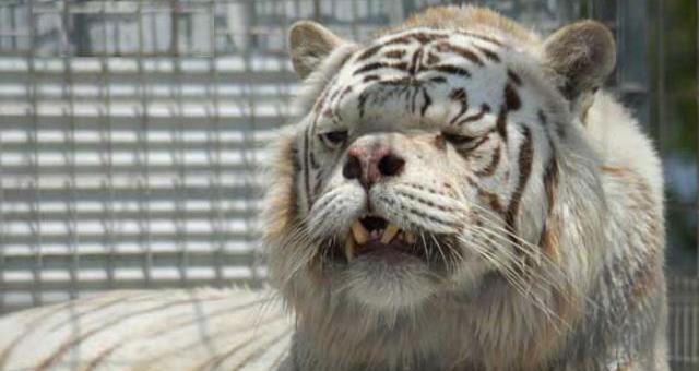 Wtf Tiger